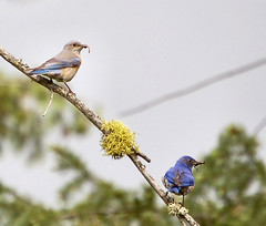 Feeding Time (lawatha) Tags: bird bluebird bluebirds feedingtime