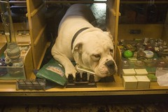 Bull dog , in drug shop