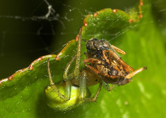 "Spider (Araniella cucurbitina) with food • <a style=""font-size:0.8em;"" href=""http://www.flickr.com/photos/57024565@N00/160877617/"" target=""_blank"">View on Flickr</a>"