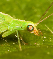 """Green Lacewing (Chrysoperla Carnea) • <a style=""""font-size:0.8em;"""" href=""""http://www.flickr.com/photos/57024565@N00/164816290/"""" target=""""_blank"""">View on Flickr</a>"""