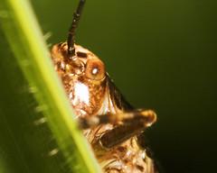 "Dark Bush Cricket juvenile (Pholidoptera griseoaptera) 4 • <a style=""font-size:0.8em;"" href=""http://www.flickr.com/photos/57024565@N00/167062153/"" target=""_blank"">View on Flickr</a>"