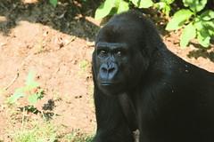 Glare (akabyam) Tags: tag3 taggedout washingtondc tag2 tag1 gorilla nationalzoo 5d animalplanet akabyam specanimal