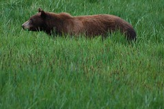 DSC_5629.JPG (Ed Coyle Photography) Tags: bear meadow yosemite blackbear