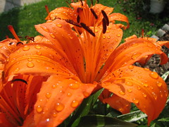 Wet Tiger Lily (audreyjm529) Tags: orange flower macro green wet catchycolors petals lily stripes tiger spots stamen raindrops elegance anther wowiekazowie flowerpicturesnolimits helluvashotartgallery flowersandcolors