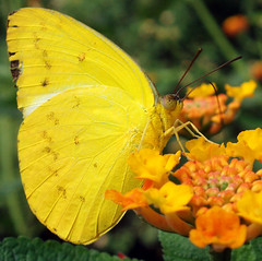 Butterfly dreaming *3 (cattycamehome) Tags: orange flower colour nature yellow tag3 taggedout butterfly garden tag2 all colours tag1 bright bokeh  butterflies rights reserved catherineingram june2006 cattycamehome allrightsreserved top20yellow flickrdiamond