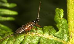"Ichneumon wasp (pimpla hypochondriaca(1) • <a style=""font-size:0.8em;"" href=""http://www.flickr.com/photos/57024565@N00/173321793/"" target=""_blank"">View on Flickr</a>"