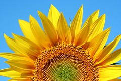 Sun! (otrocalpe) Tags: summer italy sun flower beautiful ilovenature italia large bestviewedlarge sunflower girasole marche bestlarge
