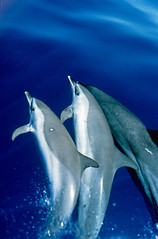 Spotted dolphin trio (ScottS101) Tags: nature mammal hawaii pacific dolphin wildlife dolphins kona allrightsreserved cetacean attenuata stenella stenellaattenuata pacificspotteddolphin copyrightscottsansenbach2008