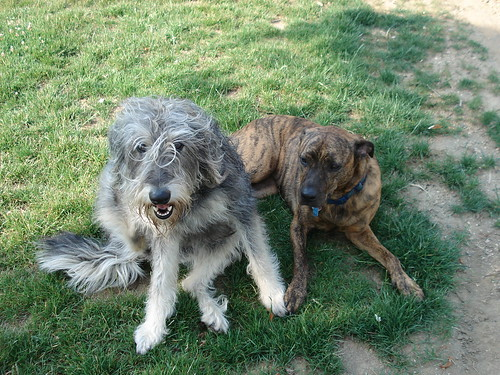 Labradoodle and Pit Bull, BFF