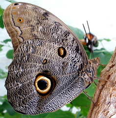 Ernie's last stand (cattycamehome) Tags: macro tree eye nature beauty animal tag3 taggedout butterfly fly wings eyes tag2 all tag1  moth butterflies rights camouflage ernie reserved markings catherineingram june2006 fourfavs fourfavs2 ernieslaststand fcbm cattycamehome allrightsreserved