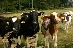 ontario canada cow cows exploring hamilton fame biking curiosity interest