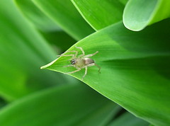 spider (Milly4) Tags: green nature animal insect spider leaf spinne insekt maiglckchen