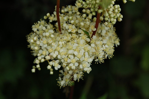 Meadowsweet..Queen of the Meadows..Filipendula ulmaria