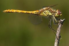 Sympetrum striolatum (♀) (imanh) Tags: dragonfly macro nature wildlife imanh iman heijboer sympetrum striolatum common darter libelle libel