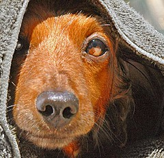 May The Force Be With You (Doxieone) Tags: dog pet wet star starwars interestingness nikon bath yoda luke dachshund explore h 101 v final jedi knight exploreinterestingness hi wars lukeskywalker aa mostpopular ggg skywalker 1002 ourdogs onexplore final2 nikon70 maytheforcebewithyou topfavorite explored 3011294 doxieone101 410114111 favororiteofmine