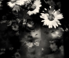 Loves me not (Linda's Many Muses) Tags: flowers bw stilllife daisies experimental mosaic manymuses tint canon350d photomontage layers photoillustration lovesmenot wwwmanymusescom 100photography
