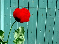 for the colours (elaine...) Tags: blue red turquoise poppy garagedoor