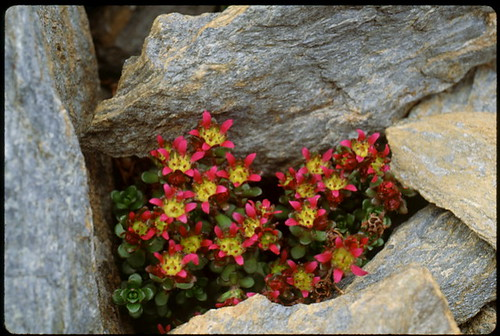 Two-Flowered Purple Saxifrage (Saxifraga biflora)