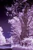 gnarly old tree (J Schmetzer) Tags: trees nature monochrome ir misc infrared nir falsecolour