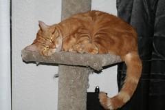 Exhaustion (tygress_janie) Tags: cats cute animal animals cat furry kitten feline chat fuzzy kitty kittens gatos gato kitties gata felines katze gatto animale cutecat cutecats tier kaz katt ktzchen ket gatas cutekitten cutekittens mo libbyset
