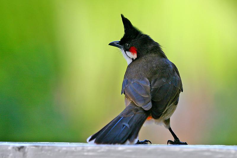 นกกรงหัวจุก,เสียงนกกรง