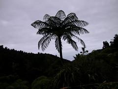 Ponga tree 1