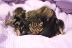 Confused purs (Zulpha) Tags: lady cat kitty kittens pride lula bengal ladylula zulpha
