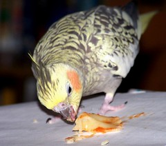 mmmm, mmmmmm Pasta! (makeupanid) Tags: bird pasta loki cockatiel petbird featheryfriday commentonmycuteness animaladdiction piedpearlcockatiel