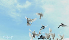 sky is the limit (dhyanji) Tags: sky pets india bird nature pigeon dove bluesky skyisthelimit whitedove dhyanji