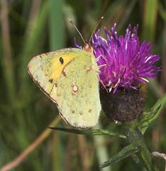 """Pale Clouded Yellow Butterfly (colias(6) • <a style=""""font-size:0.8em;"""" href=""""http://www.flickr.com/photos/57024565@N00/204889115/"""" target=""""_blank"""">View on Flickr</a>"""
