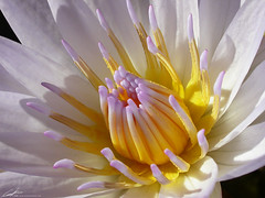 white water lily (atomicshark) Tags: white flower macro nature water beautiful nikon pretty waterlily lily bestviewedlarge coolpix nikkor excellence coolpix4500 atomicshark eifphalloffame
