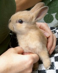 baby rabbit (ksvrbrg) Tags: bunny contest babyrabbit