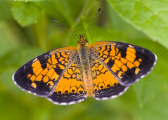 Pearl Crescent (J Gilbert) Tags: butterfly newjersey pearlcrescent phyciodes phyciodestharos 50v5f specanimal easternnorthamericannature bokehsoniceaugust fairveiwfarm bokehsoniceaugust11