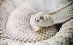 Angry (Thomas Hawk) Tags: california white animal nose eyes fav50 10 snake fav20 scales albino fav30 rattlesnake coiled fav10 fav25 fav100 fav40 fav60 fav90 fav80 fav70 superfave