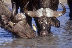ahh… enjoyment ♫♫ (bocavermelha-l.b.) Tags: film capebuffalo oxpecker 500mmf4dii tc14eii hwange–zimbabwe synceruscaffer africanbuffalo yellowbilledoxpecker wildlifephotography buphagusafricanus makalolo inafrica z5oo wildlifeafrica ♫♫ shootingwithnikonf5 búfagodobicoamarelo búfagos