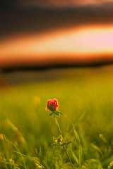 Lonely Flower (Matthias Hilf) Tags: summer sky sun flower art nature beautiful field zeiss wonderful germany landscape photography nice interesting europe 500v20f dof minolta bokeh shots pi excellent karma dynax popular blume topf150 globalvillage high5 planar outstanding aclass oneness realone badenwrttemberg thesource lichtspiel helluva engen plus4 123nature 1000v40f hegau outstandingshots einsame welschingen mywinner abigfave xploremypix p1f1 outstandingshotshighlight 123f50 30faves30comments300views superaplus aplusphoto greatpix123 topgunaces raziks20 flickrjobdiff 50faves50comments500views 75faves75comments750views flickrjobprem firsttheearth diamondclassphotographer flickrdiamond globalvillage2 flickrphotoaward creativephotographers mailciler planar5014zs 50earthfaves