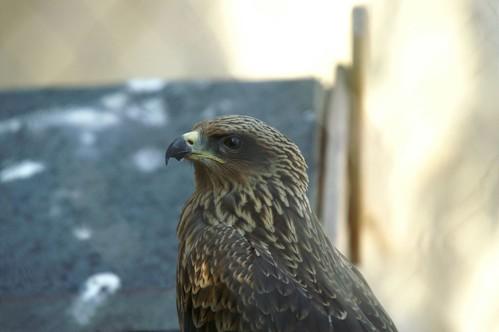 Milano negro -Black Kite - Milvus migrans