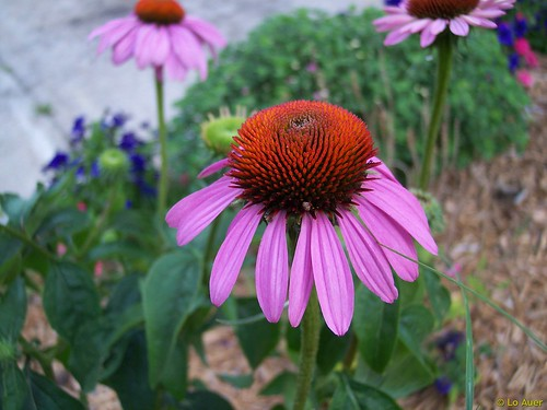 Echinacea Benefits And Herbal Remedies