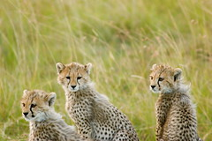 Fur as soft as wheat (Kalabird) Tags: africa travel vacation game animals kenya safari cheetah masaimara wildanimals cheetahcubs greatmigration canonef75300mmf456iiiusm