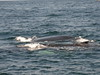 Side by side (noahg.) Tags: ocean two marine capecod mother huge whales mass calf whalewatch sanyoc6 noahbulgaria