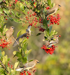 Feeding frenzy (Sandrine Biziaux-Scherson) Tags: cedar wildlife waxwings bird biziaux birds toyon berries berry nature california sandrine scherson