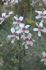 Pelargonium crithmifolium, Desert Pavilion, BBG