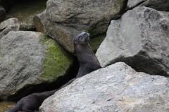 Hello? (Beard&Glasses) Tags: usa canada nature animal animals alaska fauna america canon rebel pacific wildlife north ak skagway yukon otter xsi yt riverotter 2015 exploreyukon