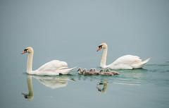 swan's family (07) (Vlado Ferenčić) Tags: animals lakes croatia swans hrvatska nikond600 zaprešić swansfamily lakezajarki sigma150500563