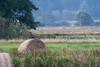 Pygargue à queue blanche (juv) (Jean-Phi.) Tags: pygargueàqueueblanche grandaigledemer aiglebarbu huardorfraie haliètealbicille haliaeetusalbicilla rapace aves accipitriformes accipitridae haliaeetus whitetailedeagle