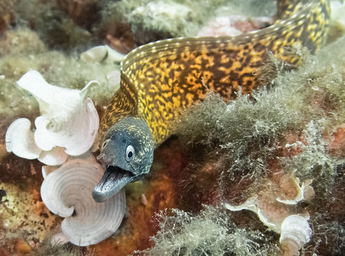 Moray eel - Sicily