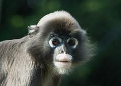 Brillangoer_03 (Nick Dijkstra) Tags: zoo arnhem nederland burgers ape langur spectacled gelderland brillangoer