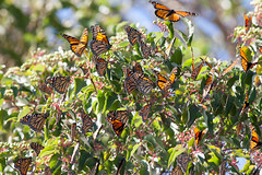 IMG_0621.jpg (erik oosterop) Tags: ontario canada fauna butterfly insect can leamington floraandfauna monarchdanausplexippus