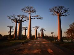Sunset, Allee des Baobabs (Rod Waddington) Tags: africa road sunset water de landscape african afrika madagascar allee afrique malagasy baobabs