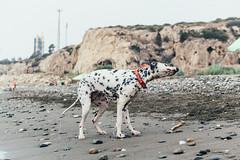 Shake it off (Leo Hidalgo (@yompyz)) Tags: dog love film animal canon photography eos reflex random cam like perro dslr dalmatian 6d fotografa dlmata vsco ileohidalgo yompyz